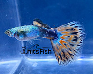 50% OFF 2 Assorted JUVE Male Guppies