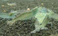 5 Amano Shrimp