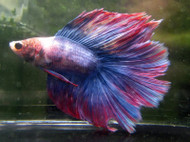 Assorted Color Halfmoon Male Bettas