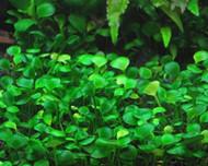 Four Leaf Clover Clump