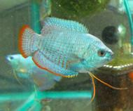 Male Cobalt Blue Dwarf Gourami