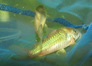 5 Green Corydoras Cory Catfish