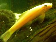 5 Gold Algae Eater