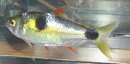 Exodon Paradoxus Bucktooth Piranha Tetra