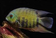 Green Severum Cichlid