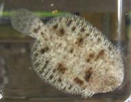 Freshwater Flounder
