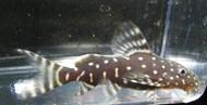 Synodontis Angelicus Catfish