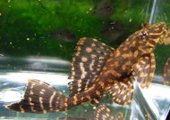 Leopard Sailfin Pleco