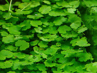 Dawrf Pennywort Hydrocotyle Tripartita Japan
