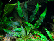 Cryptocoryne Wendtii Green Clump