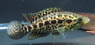Jaguar Managuense Cichlid