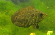 "Leopard Ctenopoma Bushfish Large 3-4"""