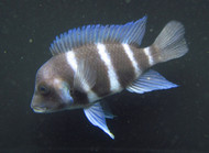 Frontosa Cichlid SMALL