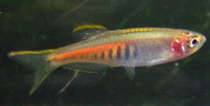 6 Glowlight Danio