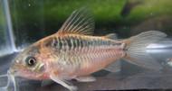 Elegant Corydoras Catfish