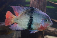 Black Belt Cichlid