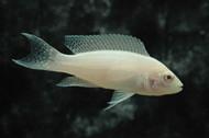 Albino Neolamprologus Brichardi Cichlid