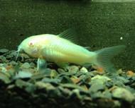 5 Albino Corydoras Cory Catfish