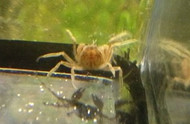 Thai Micro Spider Crab