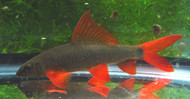 "Rainbow Shark Large 4"""