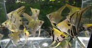 Assorted Color Angelfish