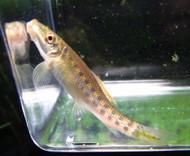5 Chinese Algae Eater Catfish