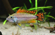 Apistogramma Cacatuoides Double Red Dwarf Cichlid Pair