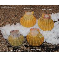 Set of 4 Sunrise shells (drilled)