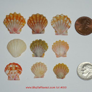 Set of 9 Hawaiian Sunrise shells Lot #010