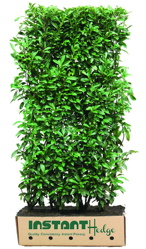 0455-prunus-lusitanica-portuguese-laurel-instanthedge-unit-biodegradable-cardboard-ready-to-ship.jpg