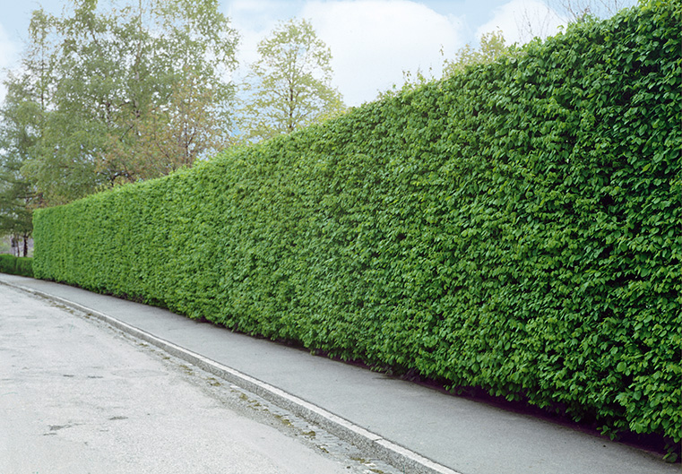 116051-140-carpinus-hornbeam-driveway-street-privacy-noise-barrier-screen.jpg