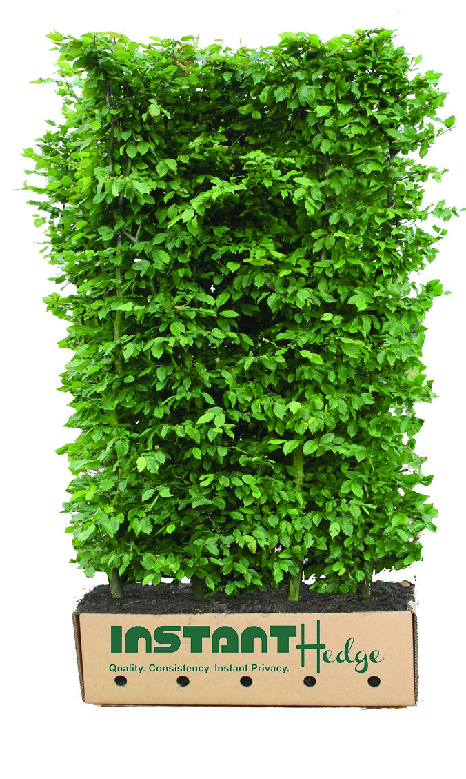 595837-carpinus-betulus-hornbeam-instanthedge-5-6-foot-unit-ready-ship-biodegradable-cardboard.jpg