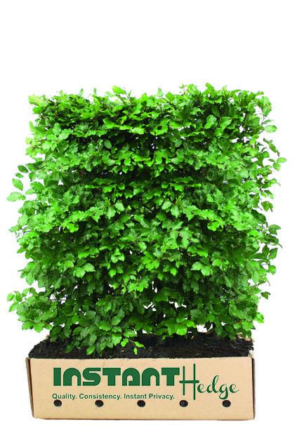 615287-fagus-sylvatica-beech-staging-harvested-3-4-foot-instanthedge-biodegradable-cardboard-box-ready-ship.jpg