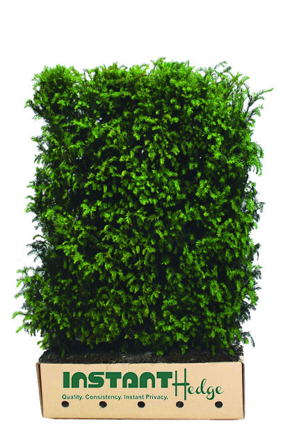 8544-taxus-media-hicksii-medium-hedge-unit-in-cardboard-box-for-shipment.jpg