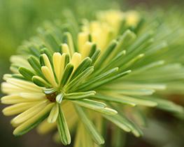 abies-homolepis-variegated.jpg