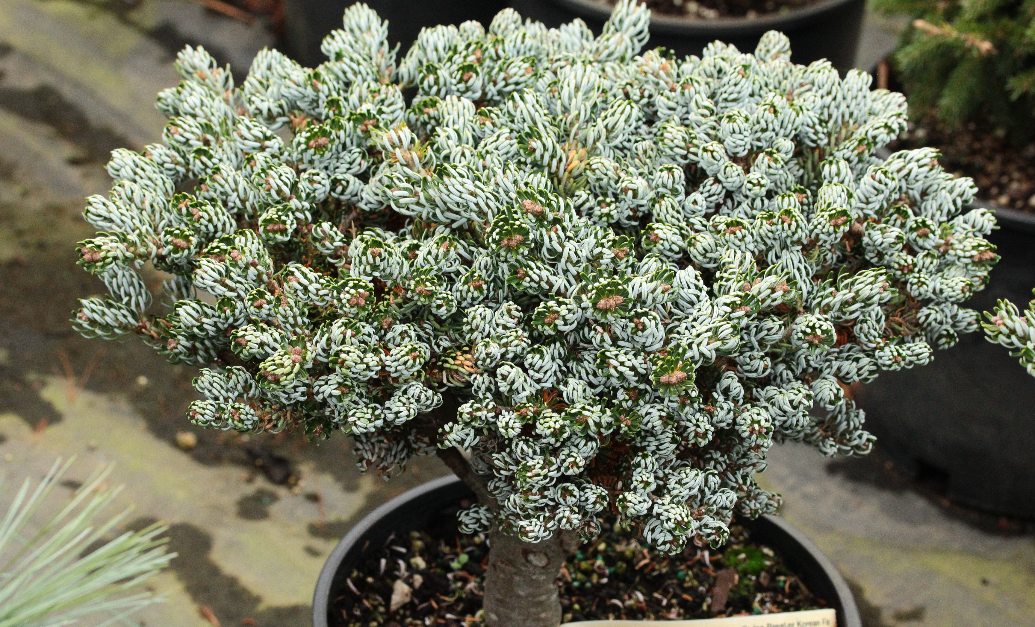 Abies koreana 'Kohout's Ice Breaker' Korean Fir