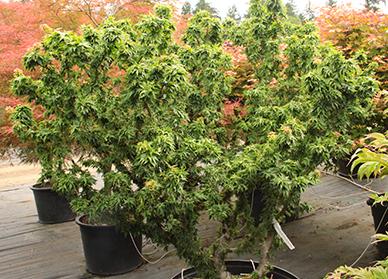 Dwarf Japanese Maples