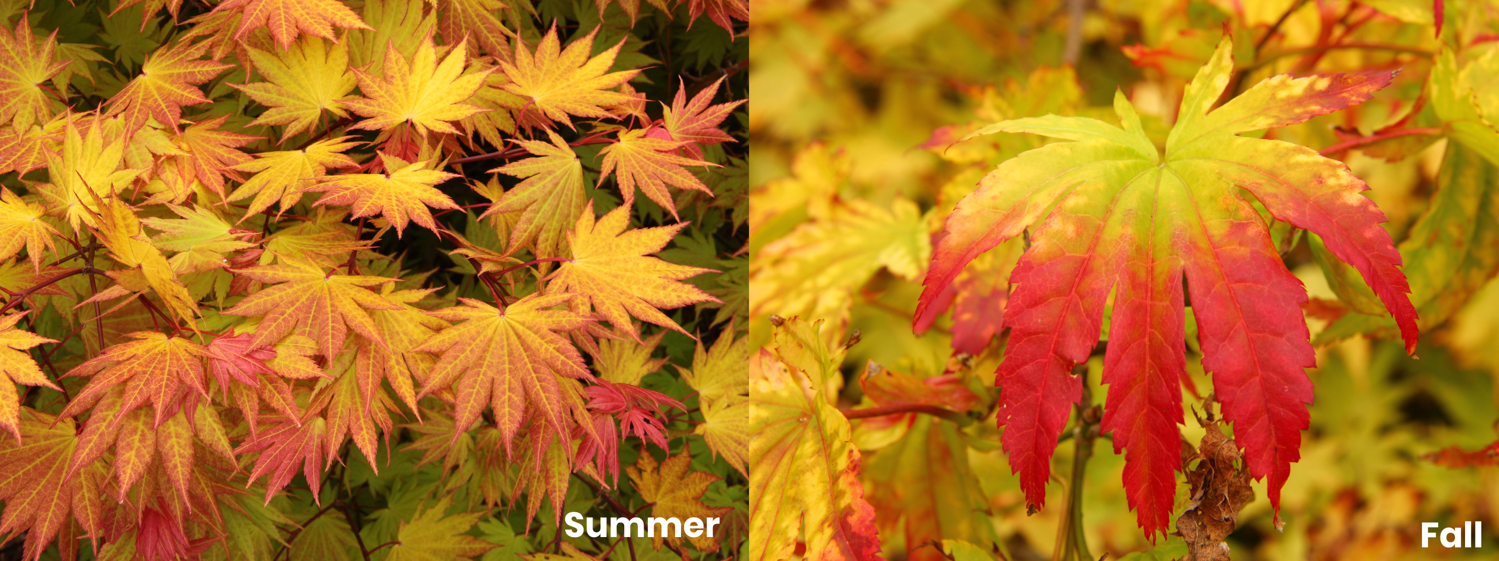 Japanese Maples Fall Colors Conifer Kingdom