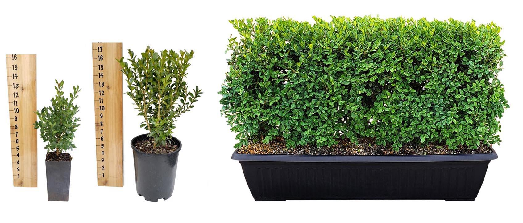 boxwood-hedge-sizes