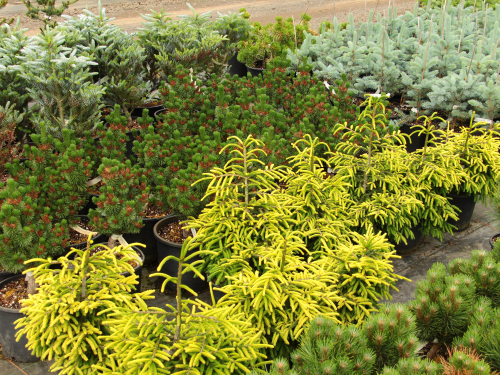 conifer-nursery-section-overview-2-resized.jpg