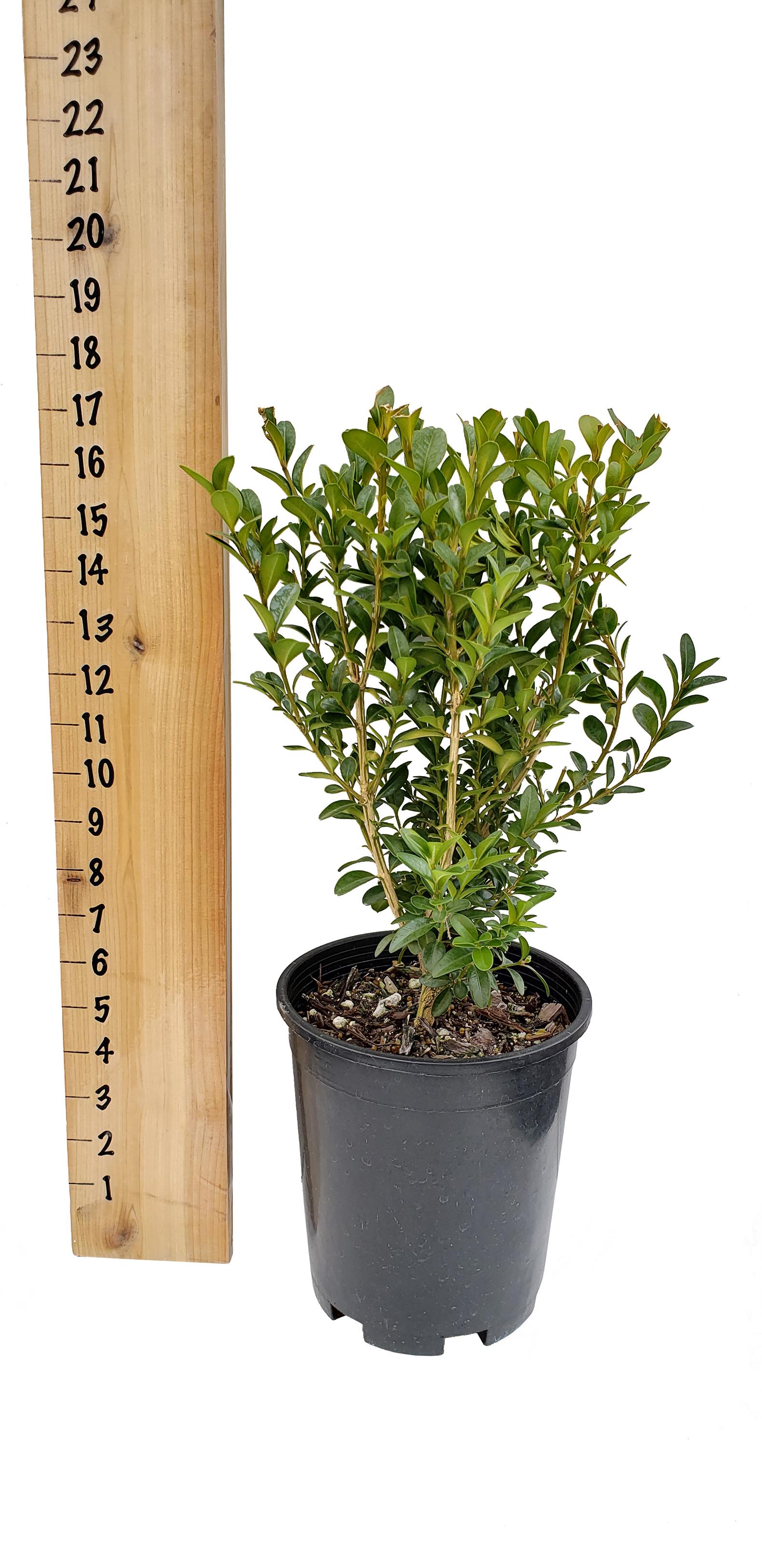 green-mountain-boxwood-1-gallon.jpg