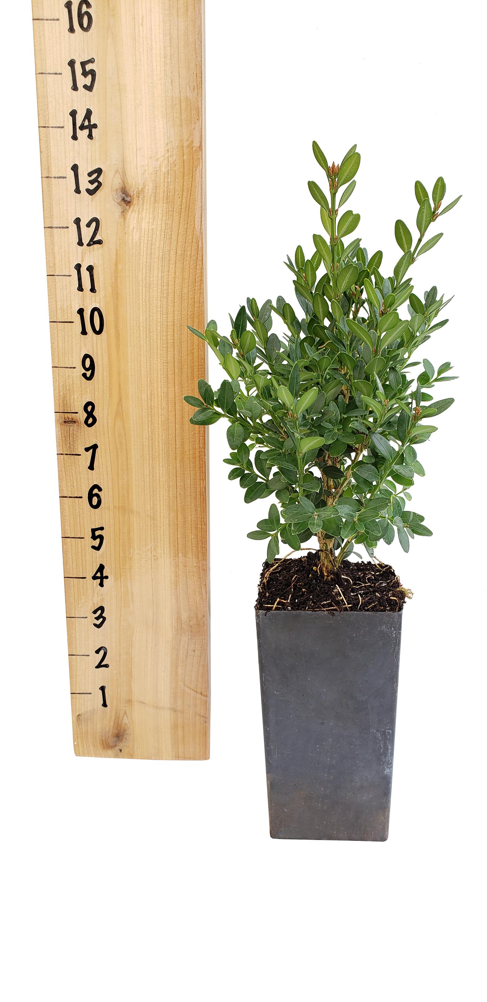 green-mountain-boxwood-tree-pot-1-.jpg