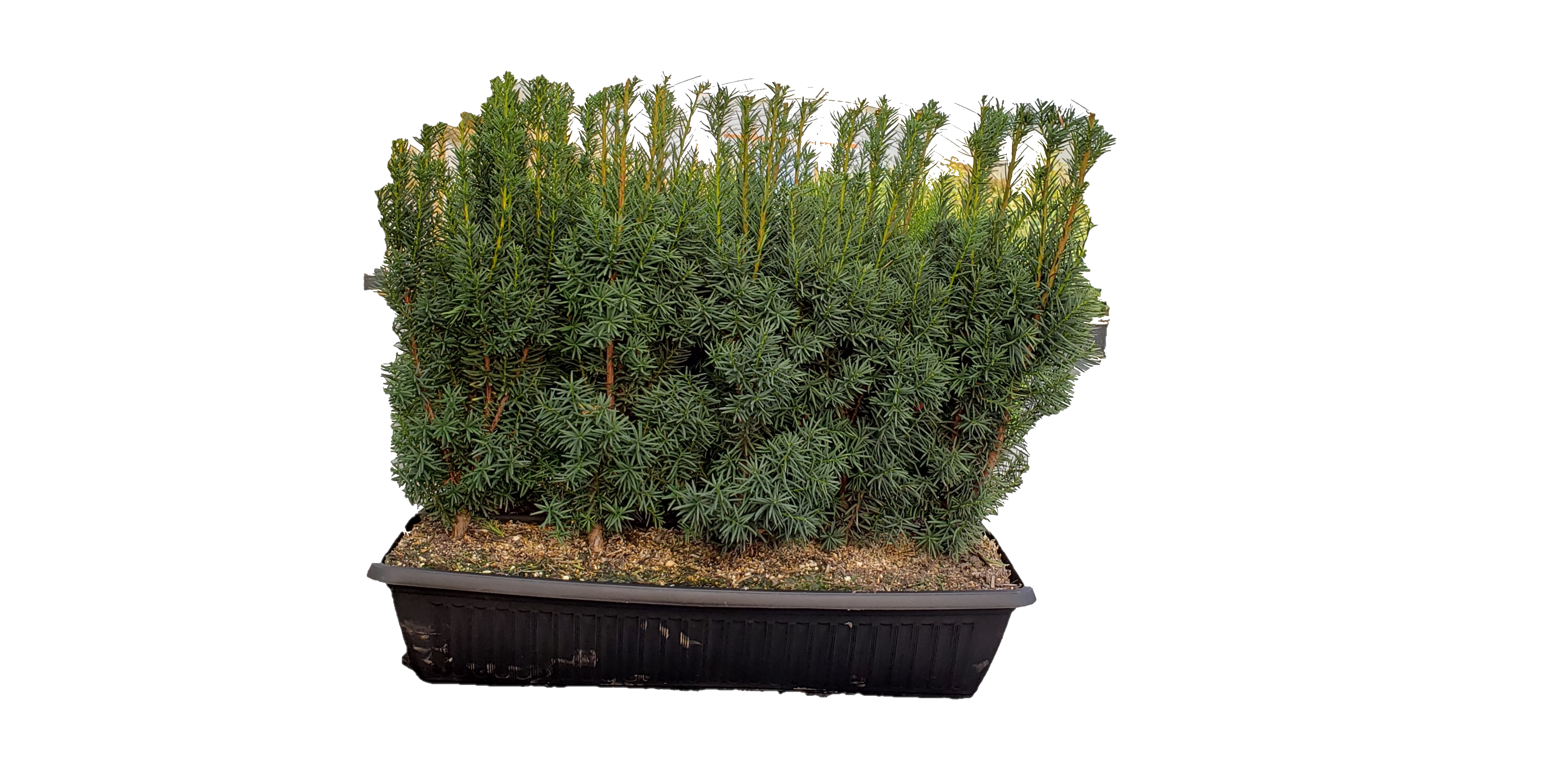 hicks-yew-plastic-hedge-no-background.jpg