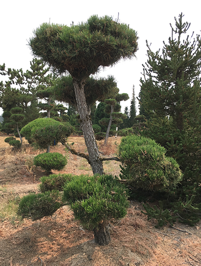 japanese-pines-section02.jpg