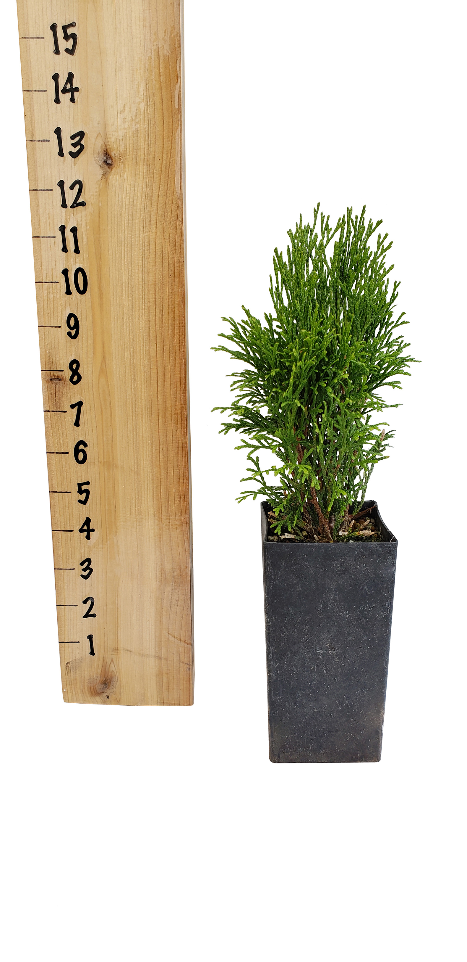little-simon-tree-pot.jpg