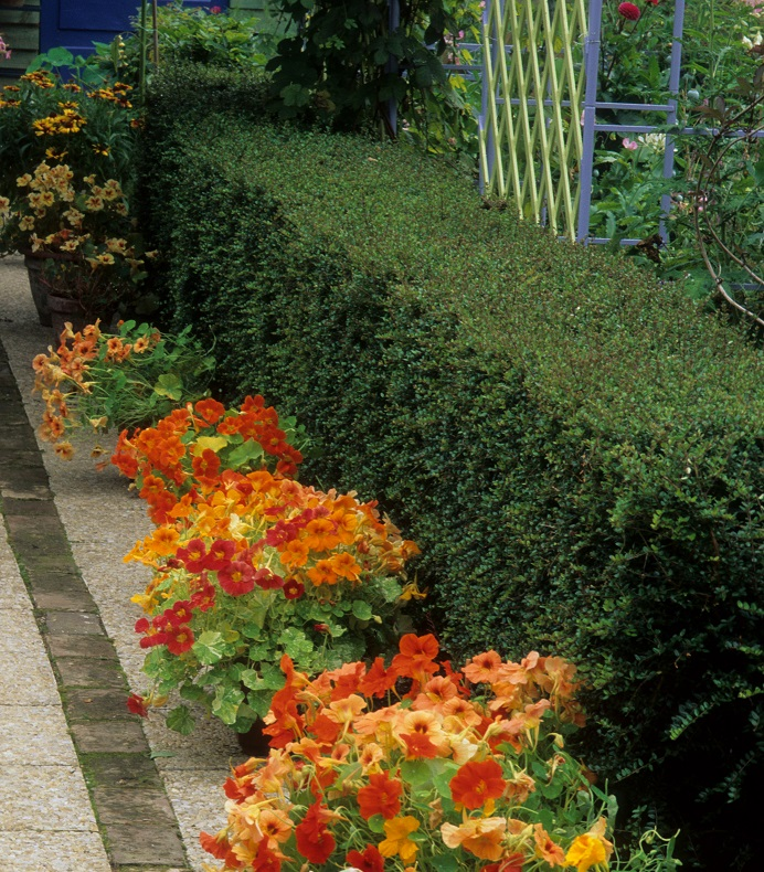 lonicera-nitida-box-honeysuckle-clipped-formal-hedge-small.jpg