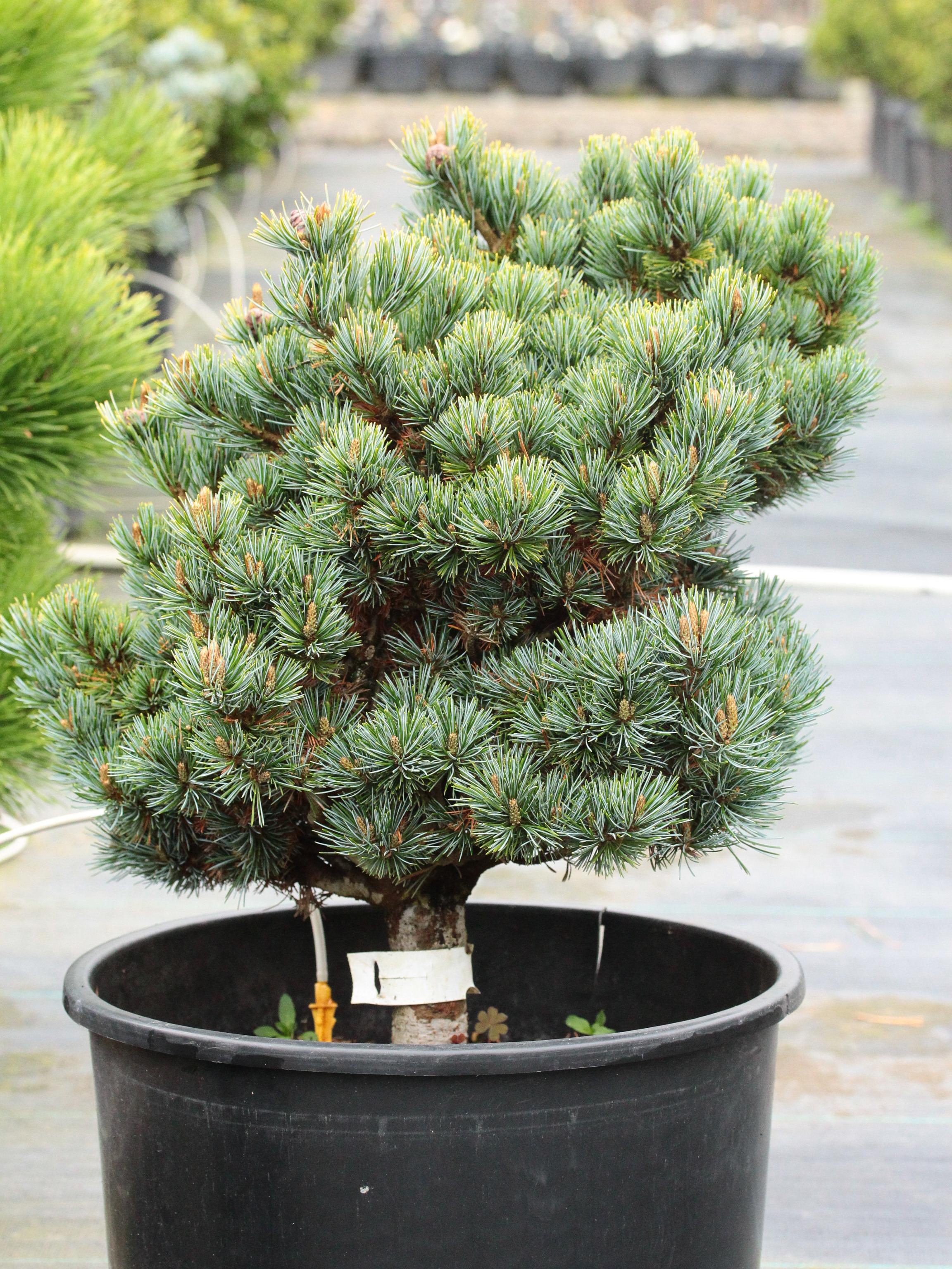 Pinus parviflora 'Regenhold' Ron's Broom Japanese White Pine