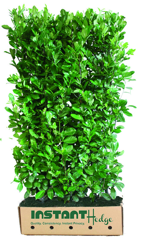 prunus-laurocerasus-hedge-unit-468593-english-laurel-instanthedge-biodegradable-cardboard.jpg