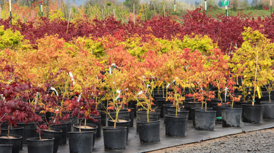 section-overview-gal-3-3-gal-maples-acer-1-resized.jpg