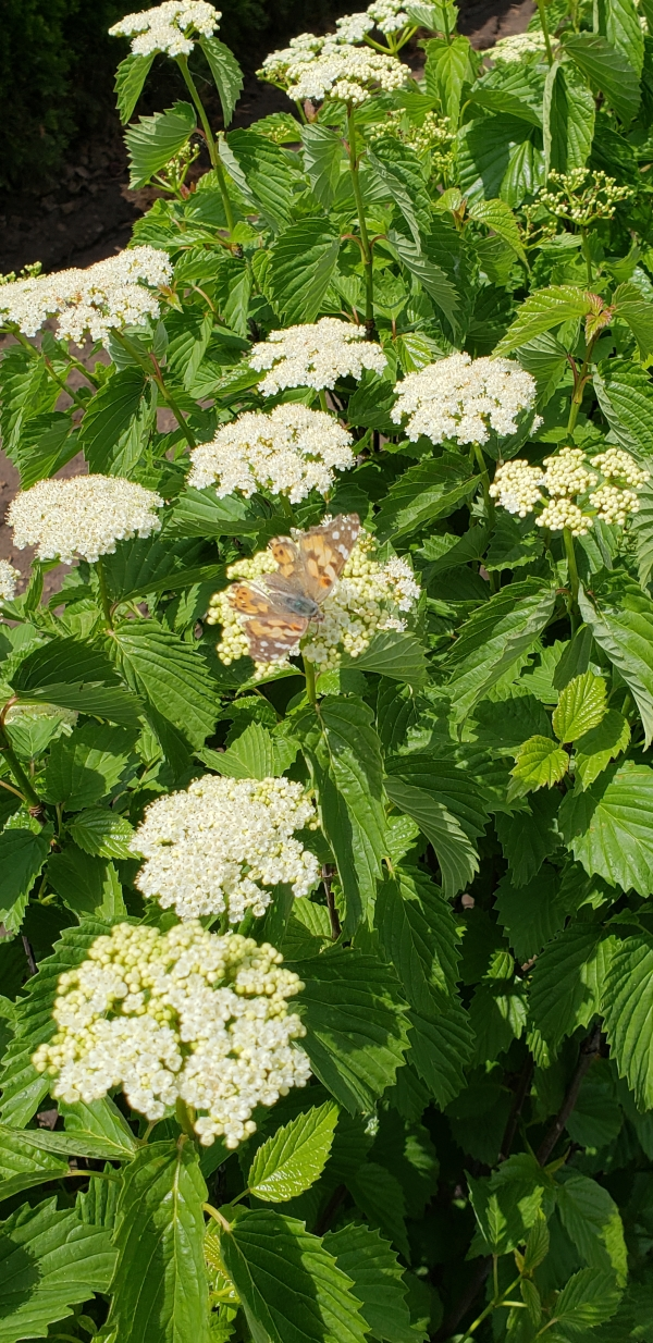 viburnum-dentatum-arrowwood-spring-flower-hedge-pollinators-bee-butterfly-may-2019-11-1.jpg